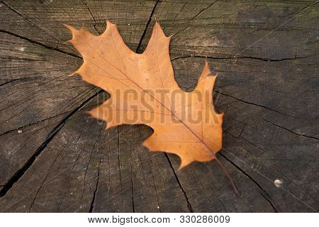 Yellow Fallen Oak Leaves On An Old Tree Stub. Autumn Leaf Fall. Copy Space. Old Stub In Autumn Park