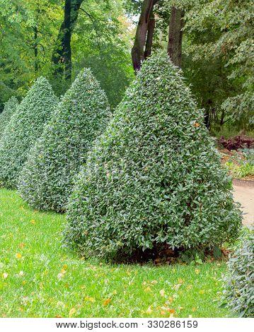 Privet Pyramid, European Privet Ligustrum Vulgare Oleaceae Park Garden Decor, Trimmed Bushes Natural