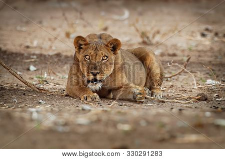 Lion - Panthera Leo King Of The Animals. Lioness Resting In The National Park Mana Pools In Zimbabwe
