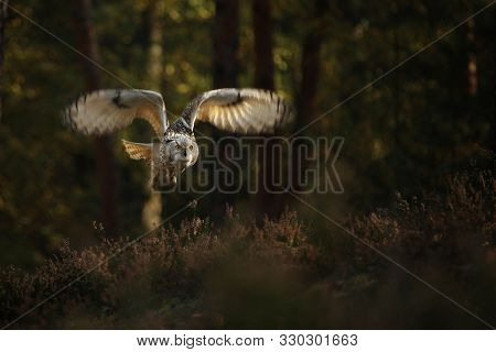Flying Eurasian Eagle Owl. Wildlife Europe. Bubo Bubo Sibiricus