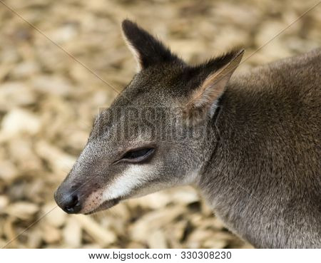 A Portrait Of A Browns Pademelon, Thylogale Browni, West Papua, Indonesia, And Papua New Guinea