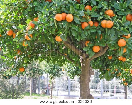 saure Orange tree