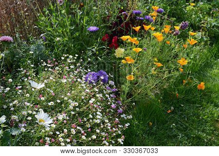 Flourishing Summer Flower Bed In A Garden With Daisies, Fleabane, Asters And Californian Poppies