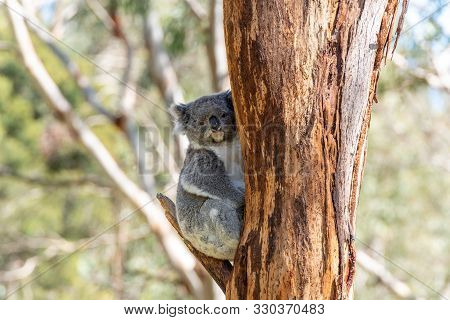Animal, Blue, Branch, Brown, Clear Sky, Color, Colour, Day, Green, Grey, Horizontal, Koala, Nature,