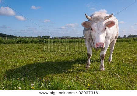 Looking Cow With Horns