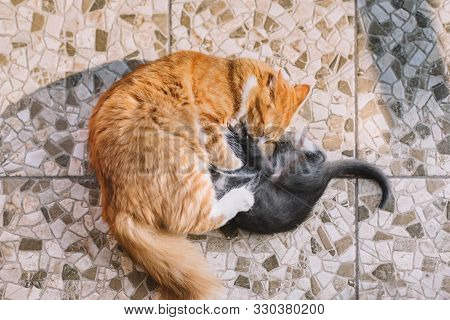 Little Gray Kitten And Adult Ginger Cat Play On The Floor. Frisky Cats Fight With Each Other. Domest