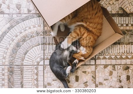 Little Gray Kitten And Adult Ginger Cat Play On The Floor. Playful Cats Use Box For Game. Frisky Cat