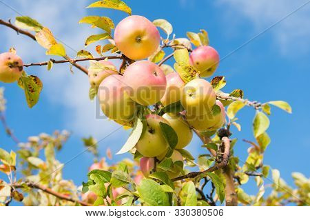 Abundant Crop Of Apples. Apple Tree Branch With Apples On Blue Sky. Apples Grow In Sunlight On Tree.