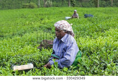 Munnar, India - November 14, 2016: Tea Picker Woman Working In Tea Plantation In Munnar, Kerala, Sou