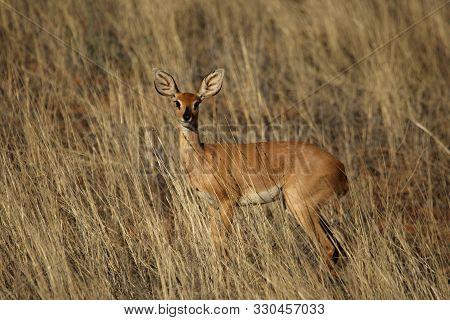 Steenbok Feline (raphicerus Campestris) Staying In Dry Golden Grass In Red Sand Of Kalahari Desert.