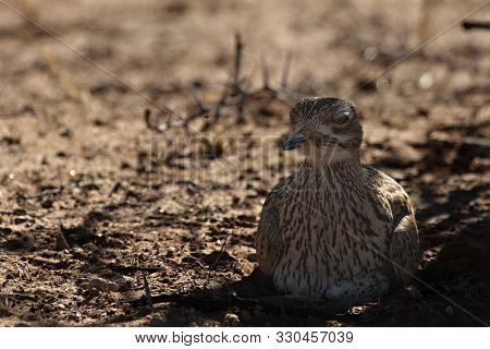 Spotted Thick Knee (burhinus Capensis) Sitting In Dry Grass In Shade In The Kalahari Desert With Dry