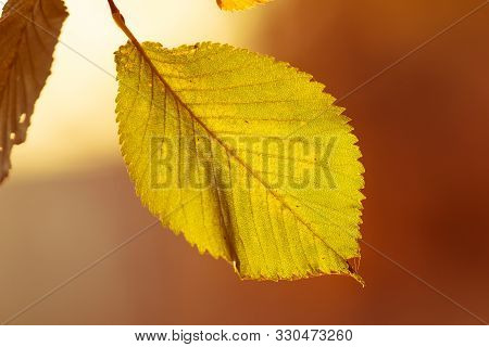 Autumn Leaves Nature Background. Autumn Background Nature. Fall Background Close Up Photo. Yellow Le