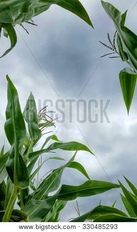 View Of Rows Of Green Corn Stalks In Field Ready For Harvest With Storm Clouds In The Background In