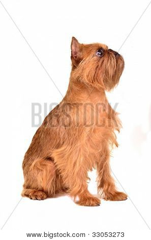 Griffon Bruxellois sitting, isolated on white background poster