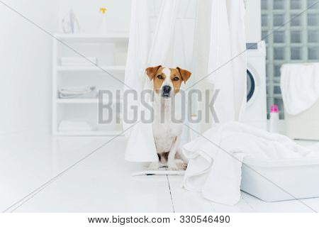 Indoor Shot Of Jack Russell Terrier In Laundry Room, White Fresh Washed Laundry On Clothes Dryers, B