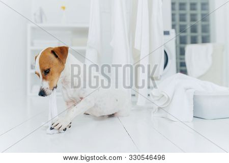 Horizontal Shot Of Jack Rusell Terrier Bites White Linen While Host Is Away, Has Much Work In Laundr
