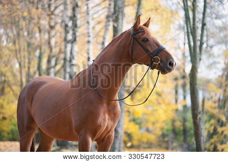 Portrait Of Graceful Thoroughbred Red Horse Standing On Autumn Background. Multicolored Horizontal O