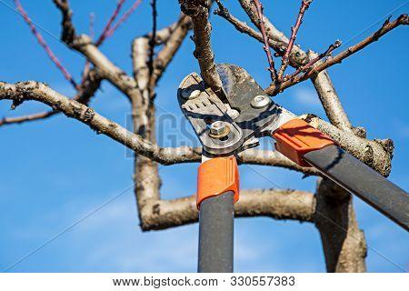 Gardener Pruning Fruit Tree With Pruning Shears