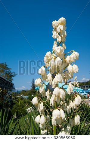 Small Blooming Palm Tree - Blue Agave With A Huge Torch Of White Large Flowers Against A Clear Blue