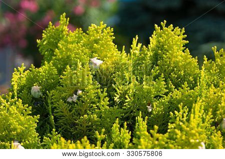 Thuja - Coniferous Plant, Twigs Close-up, Macro. Horizontal Photo