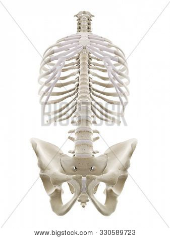3d rendered medically accurate illustration of the human thorax