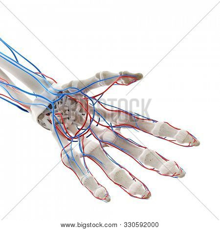 3d rendered medically accurate illustration of the blood vessels of the hand