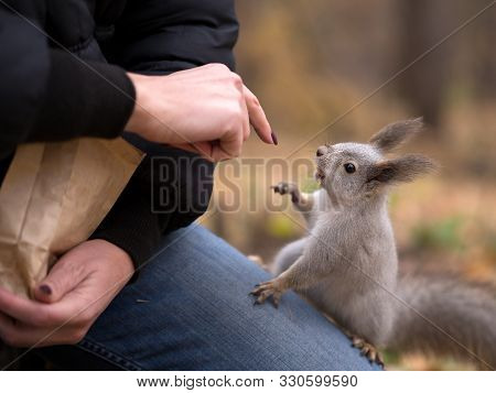 Funny Cheeky Squirrel Asks Nuts From Human Climb Up On Persons Knees In Urban Park In Autumn. Select