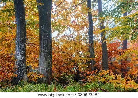 Beech Forest On A Hazy Morning. Beautiful Autumn Scenery In The Woods. Gloomy Weather. Trees In Colo