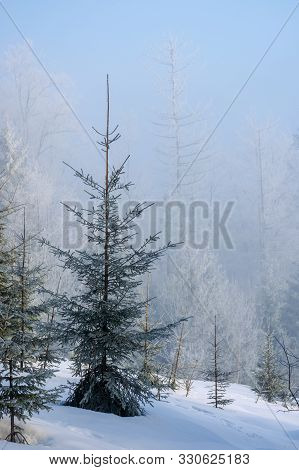 Winter Forest Scenery In Misty Weather. Spruce Tree On The Snow Covered Meadow. Magical Morning Ligh