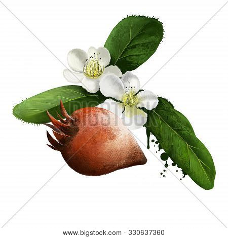Medlar Fruit And Flowers Isolated On White. Mespilus Germanica, The Medlar Or Common Medlar. Eaten W