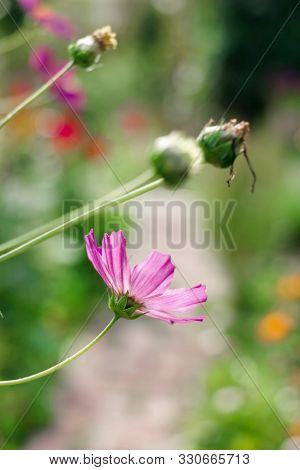 Pretty Summer Pink Flower Cosmeya For Good Mood