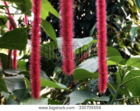 The Chenille Plant (acalypha Hispida), Nesselblatt, Philippines Medusa, Red Hot Cats Tail Fox Tail,