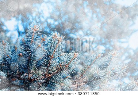 Christmas winter snowy background. Blue winter pine tree branches under winter falling snow, closeup of winter forest nature with free space for winter Christmas text