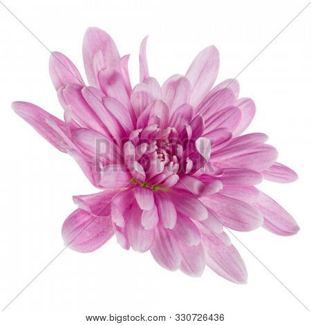 one chrysanthemum flower head isolated over white background closeup. Garden flower, no shadows, top view, flat lay..