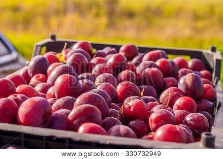 Lots Of Plums. Drain In The Drawer. Homemade Plum. Homemade Garden Berries. Purple Fruit