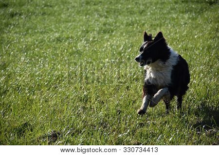 Leaping Border Collie In A Grass Field.