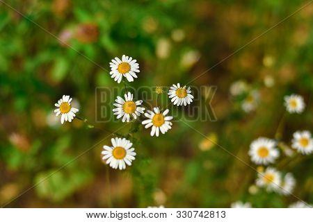 White Wild Daisy Close-up, Wild Flower, White Daisy