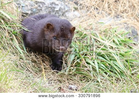 Mink sneaking from burrow. Mustela lutreola - wild predatory furry animal hunting in nature. poster