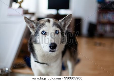 An Inquisitive Siberian Husky Is Seen Close Up Indoors. Snout View Of A One Year Old Healthy Pet Dog