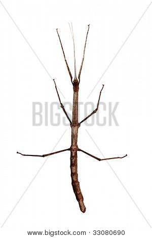 poster of Walking stick (Phasmatodea) top view isolated on white background