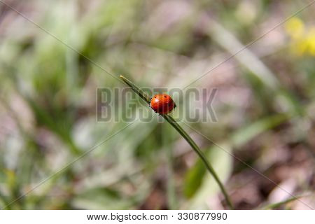 Nature Insect Ladybug On Grass Leaf. Ladybug In Nature. Ladybug. Nature. Close Up Of Ladybug Nature