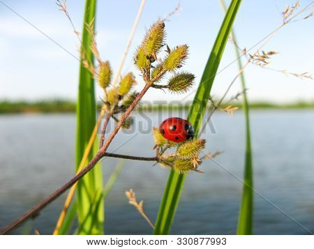 Ladybug Insect In Nature. Nature Background Of Ladybug On Grass. Closeup Of Ladybug On A Background