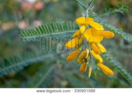 Yellow Sesbania Bloom Flower Can Be Used To Make Food And Desserts