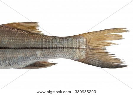 Tail Of Bouche Sea Fish Trinidad Caribbean Isolated In White Background