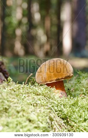 Nice Boletus Mushroom With Pink Stem In Green Moss