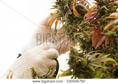 Marijuana Plant. Cannabis Sativa Plant with Female Flowers. Marijuana cultivation. Room for text. Cannabis and Marijuana is now legal in the United States for Recreational and Medical purposes.