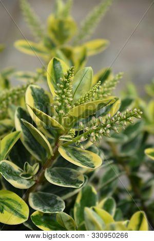 Variegated Hebe Leaves And Flower Buds - Latin Name - Hebe Variegata