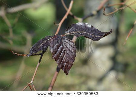 Copper Beech leaf - Latin name - Fagus sylvatica purpurea poster
