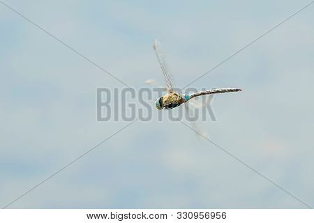 Dragonfly Hovering (anax Imperator) Blue Emperor Dragonfly In Flight