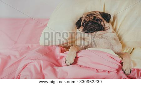 Close Up Face Of Cute Pug Dog Breed Lying On A Dogs Bed With Sad Eyes Opened. Pet Friendly Accommoda